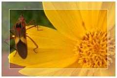 My creation (marlenells) Tags: orange flower macro freeassociation topc25 topv111 closeup 1025fav wow wonderful insect ilovenature interesting fdsflickrtoys topv333 topc50 100v10f quintaflower topi interestingness52 i500
