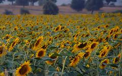 Field of sunflowers...