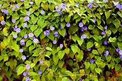 Pharbitis purpurea :: Morning Glory