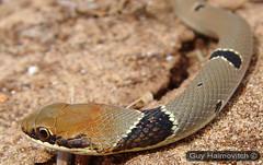 Dhal's Whip Snake (Coluber najadum) זעמן זיתני Closeup