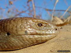 Legless lizard ('Ophisaurus apodus') קמטן החורש crawling in the dunes