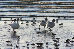 IMG_6601.jpg (wildorcaimages) Tags: snowgeese birds