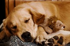 [フリー画像] [動物写真] [哺乳類] [イヌ科] [犬/イヌ] [ゴールデン・レトリバー] [寝顔/寝相/寝姿]     [フリー素材]
