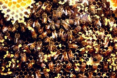 Busy (.brian) Tags: bees comb honey workers buzz yikes