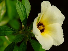 not sure (shivanayak) Tags: india flower d70 shiva karnataka  shivanayak attributionnoncommercialsharealikelicense