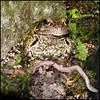 Worm Attack 1/5 -2933 (Edgar Thissen) Tags: edgar thissen frog kikker pond vijver garden tuin nature natuur animal dier pg photography pgphotography