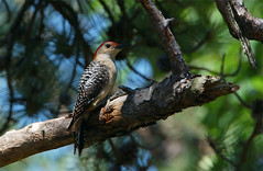 Red-bellied Woodpecker (Gini~) Tags: animal bird woodpecker redbelliedwoodpecker melanerpescarolinus haymarket virginia