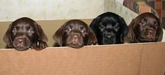Puppies (Gulliver x Gigi) by schulze-
