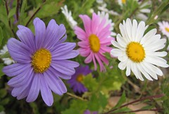 Trio (Ally123) Tags: macro threeflowers daisies trio three purple white pink green dof margaritas flowers 15fav wild interestingness