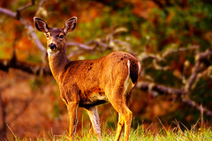 The Inquisitive Deer (| HD |) Tags: sunset 20d nature animal oregon canon river golden sigma deer southern hd curious rogue creature 500mm darwish hamad inquisitive