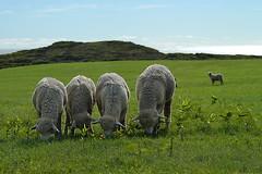 Vineyard Sojourn - 57 (cbonney) Tags: marthasvineyard newengland coast chilmark sheep