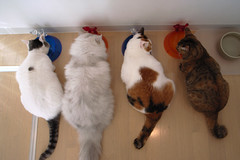 R0010151 (junku) Tags: cats cat kitties gr  grdigital ricoh ricohgrdigital kin rika hime   fuwari grd