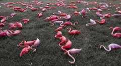 bird flu (AustinTX) Tags: pink topf25 topv111 d50 topv333 humor flamingos birdflu 10f humour explore great6 radioopensource great5 great1 great4 great2 almost1 great3 great7 50f