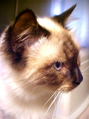 864 Pretty Cat with Blue Eyes (Pixel Packing Mama) Tags: beautiful whiskers sofa mycats flickrcentral catsandkittensset catscatscats ilovemycat furryfriday petsinprofile heartlandhumanesociety pixelpackingmama meowscollectors catswithblueeyes blueeyedanimalspool dorothydelinaporter uploadedtoflickr2005set pixelpackingmama~prayforkyronhorman oversixmillionaggregateviews over430000photostreamviews