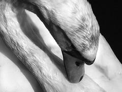 Zwan (_ Krystian PHOTOSynthesis (wild-thriving) _) Tags: summer sun lightpainting berlin art nature animal topv111 wow germany ilovenature top20bw top20animalpix sand europa europe saveme2 deleteme10 kunst great paintingwithlight droplet top20 krystian aesthetic pankaesthetik photosynthesis neweurope top20system aesthetik photophilosophy natureislord schoolofsee asymmetrya topphotoblog naturelandskapefavs photosynthese