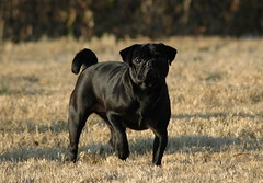 Samurai Housefly (Citizen Rob) Tags: lulu pug dog