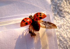 missing summer (Desideria) Tags: summer topf25 wow paper insect flying amazing wings sommer awesome stunning ladybird papier insekt schatten marienkfer fliegen flgel missingsummer abigfave