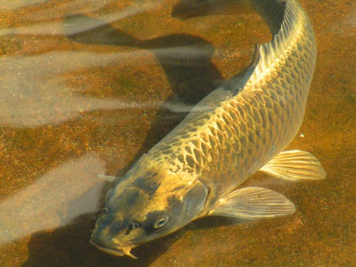 Golden carp in bless me ultima