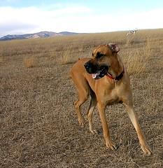 Windy Sunday Afternoon (Laertes) Tags: oola stella greatdane dane dog boulder colorado