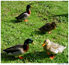 ... and then came four... (Azorina) Tags: verde green duck poetry poem birdsinportugal avesemportugal pato poesia azores furnas açores poema smiguel azorina ~a~