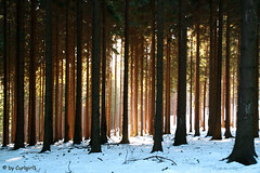 Luminous trees (Curlgirl1) Tags: wood trees winter light nature backlight forest landscape ilovenature saxony erzgebirge oremountains topphotoblog oberfrauendorf nlis