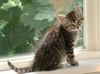 Mokas Adoption Day (roscodebosco) Tags: cats cute cat kitten tabby kitty moka catsandwindows