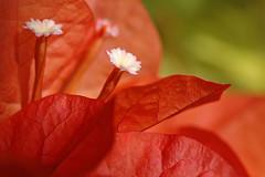 Getting close (bocavermelha-l.b.) Tags: orange macro primavera catchycolors d70s paperflower 105mmf28dmicro  inbali foundinnusadua southchinasea inindonesia shootingwithd70s  gutenntagg