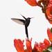 Beija-flor Tesoura (Eupetomena macroura) - Swallow-tailed hummingbird 339
