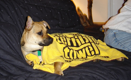 Rocky in Terrible Towel Attire