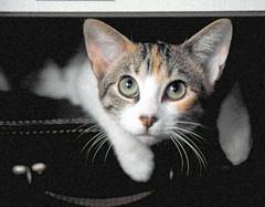 Tita On The Case (Coquine!) Tags: cat gato katze tita gatito kätzchen