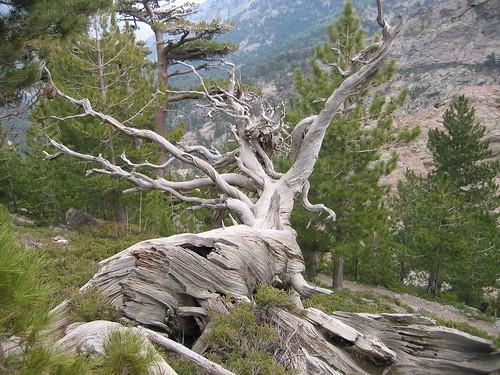 יער בקורסיקה