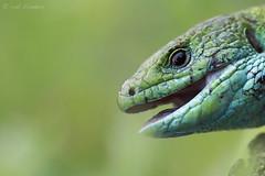 European Green Lizard (Lacerta viridis, smaragdhagedis) (Rob Blanken) Tags: bulgaria hagedissen lacertaviridis smaragdhagedis europeangreenlizard nikond810 sigma180mm128apomacrodghsm diversendieren