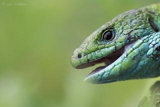 European Green Lizard (Lacerta viridis, smaragdhagedis)