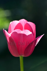 Tulip 15.07 (Vally Dal Pra) Tags: pink light flower spring pretty tulip