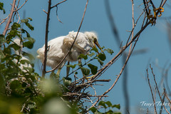 Young Snow Egrets wait for mama to return with a meal