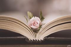 Half way (Ali Llop) Tags: pink macro rose vintage book rosa libro 90mm antiguo halfwaypoint macromondays