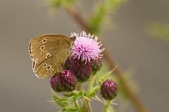 Ringlet Butterfly (jon lees - moving) Tags: brown woodland butterfly garden insect butterflies spots britishwildlife invertebrate hedges ringlet aphantopushyperantus irishwildlife