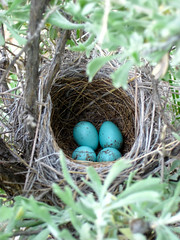 Another Brewer's Sparrow Nest