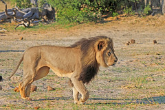 cecil walking (paulafrenchp) Tags: