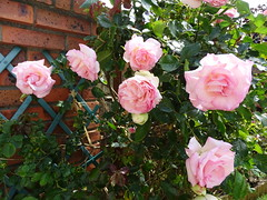 20150613d Pierre de Ronsard (@bodil) Tags: flowers france rose fleurs pierrederonsard