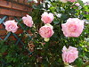 20150613d Pierre de Ronsard (@bodil) Tags: flowers france rose fleurs pierrederonsard
