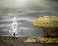 _IMG6299_1 (Robert Björkén (Hobbyfotograf)) Tags: sea bird robert broken water dark sad outdoor seagull feather hangover tired torn serene lonely 135mm kalmar torned samyang fiskmås björkén samyang135mm