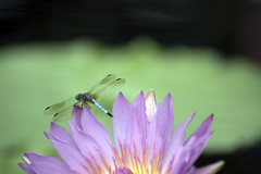 Dragonfly on a Lilly (angusmcnitt) Tags: flower purple dragonfly insects longwoodgardens waterlilly