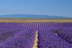 Leçon de géométrie ***--+° (Titole) Tags: lavandes lavender lines sky field titole nicolefaton purple plateaudevalensole friendlychallenges storybookwinner 15challengeswinner