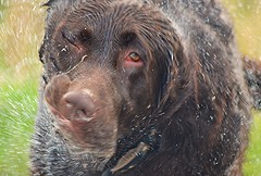 i-spray (Michael C. Hall) Tags: dog wet labrador chocolate spray