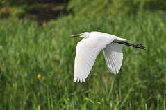 DSC_0047 (popopo_2004) Tags: bird osaka  hirakata   d5000 20130514