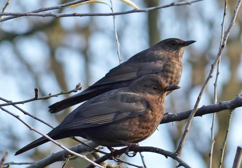 female Blackbirds