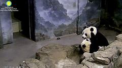 but I wuv you so much, mama  ./sx81.png (heights.18145) Tags: smithsoniansnationalzoo beibei meixiang corner panda bear pandabear cuteanimals bearcubs motheranimals ccncby