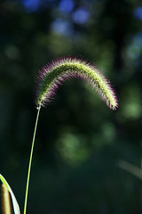 A Little Bent (giantmike) Tags: grass sees nature plant green bokeh canonef24105mmf4lis
