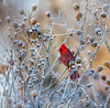 Cardinal 1 Jan 2017 (Mike Matney Photography & Design) Tags: 2017 canon eos7d edwardsville illinois january midwest watershednaturecenter cold ice nature outdoors wildlife unitedstates us cardinal northerncardinal bird birds